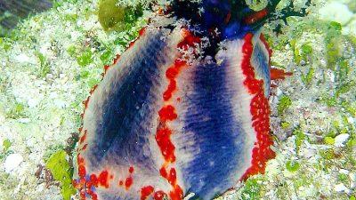 Copy Of Beachball Seacucumber91
