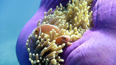 Pink Anemone Fish (2)