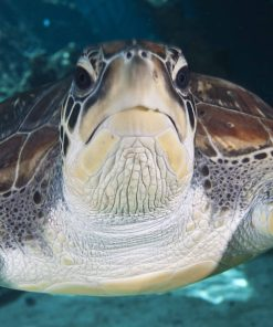 Reef Hq Turtle Torres